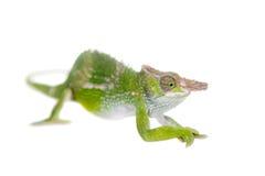 Le caméléon de Fischer, fischeri de Kinyongia sur le blanc photo stock