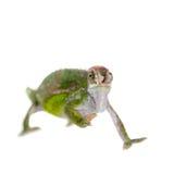 Le caméléon de Fischer, fischeri de Kinyongia sur le blanc photographie stock libre de droits