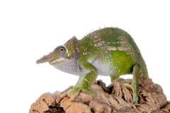 Le caméléon de Fischer, fischeri de Kinyongia sur le blanc photographie stock