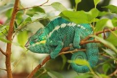 Le caméléon de panthère est brillamment des caméléons colorés qui sont indigènes dans des avants tropicaux photos stock