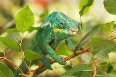 Le caméléon de panthère est brillamment les caméléons colorés dans la forêt tropicale - pardalis de Furcifer photographie stock libre de droits