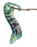 Le caméléon de panthère indiscret soit, des pardalis de Furcifer Photos libres de droits