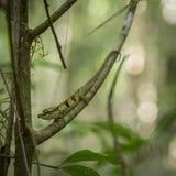 Le caméléon de petit Boettger camouflé dans le d'Ambre de Montagne, Madagascar Images stock