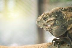 Le caméléon de plan rapproché s'accrochent sur le bois de construction sur le fond texturisé par cage animale brouillé avec l'esp Image stock