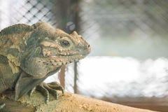 Le caméléon de plan rapproché s'accrochent sur le bois de construction sur le fond texturisé par cage animale brouillé avec l'esp Photographie stock