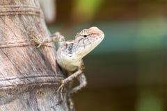Le caméléon en nature Photographie stock