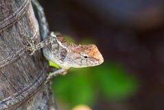 Le caméléon en nature Photo libre de droits