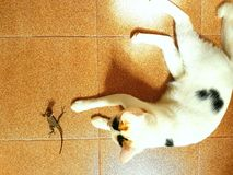Le caméléon et le chat Photographie stock libre de droits
