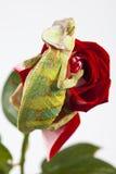 Le caméléon se reposant sur un rouge s'est levé Photographie stock libre de droits