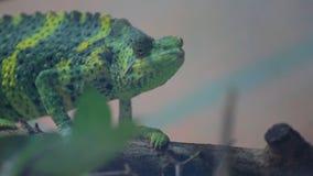 Le caméléon vert se déplace lentement sur la branche banque de vidéos