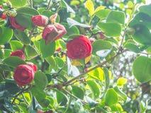 Le camélia japonais de beau cognassier du Japon rose de camélia fleurit dans le jardin sur le fond doux-focalisé Image stock