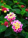 Le camara de Lantana, negritos de cinco fleurissent dans un jardin gentil photographie stock