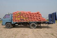 Le camion dans le domaine de pomme de terre est chargé avec des pommes de terre. Image libre de droits