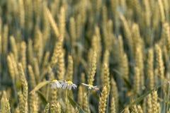 Le camomille nel campo di grano immagine stock