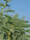 Le camouflage d'un insecte Images libres de droits