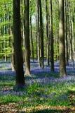 Le campanule fiorisce durante la primavera in Hallerbos Halle Belgium Immagini Stock Libere da Diritti