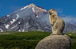 Le camtschatica de Marmota de Groundhog a regardé hors de Nora pour regarder autour faune image stock