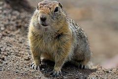 Le camtschatica de Marmota de Groundhog a regardé hors de Nora pour regarder autour faune photos stock