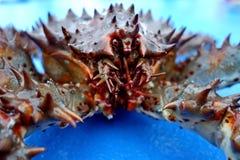 Le camtschaticus rouge de Paralithodes de limule, a également appelé le crabe du Kamtchatka ou le limule d'Alaska photos libres de droits