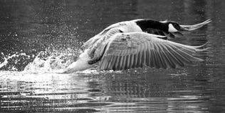 Le Canada/oie canadienne décollant d'un fleuve Images stock