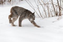 Le canadensis de Lynx Lynx de Canadien égrappe juste Photographie stock libre de droits