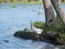 Le canard à quatre jambes Photo stock