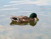 Le canard Image libre de droits
