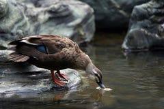 Le canard Images libres de droits