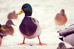 Le canard Photos libres de droits