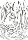 Le canard aimable et les petits canetons mignons gratuits marchent sur le rivage de lac Image stock
