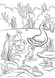 Le canard aimable et les petits canetons mignons gratuits nagent sur le lac Photographie stock
