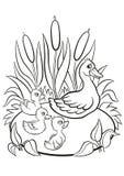 Le canard aimable et les petits canetons mignons gratuits nagent sur le lac Images stock