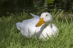 Le canard blanc se repose sur l'herbe verte à côté d'un étang ou d'un lac Photos libres de droits