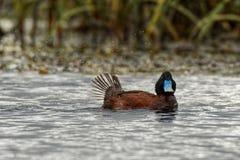 le canard Bleu-affiché - Oxyura australis - petit Australien raide-a coupé la queue le canard, avec le mâle et la femelle devenan photographie stock libre de droits