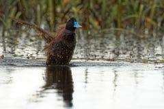 le canard Bleu-affiché - Oxyura australis - petit Australien raide-a coupé la queue le canard, avec le mâle et la femelle devenan images stock