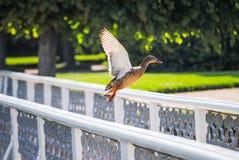 Le canard décolle de la balustrade images stock