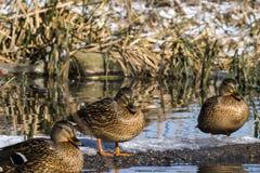 Le canard de canards sauvages apprécient les rayons du soleil d'hiver Images stock