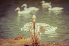 Le canard de danse image libre de droits