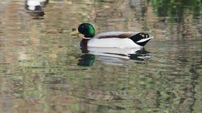 Le canard de Mallard nage à la ligne d'arrivée clips vidéos