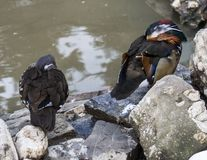 Le canard de mandarine de Sinaia Images stock