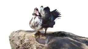 Le canard de Motley nettoie le plumage sur des ailes image libre de droits