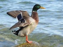 Le canard de ondulation image stock