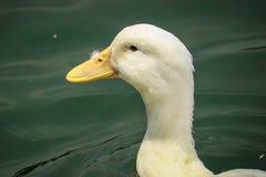 Le canard de Pekin balance image stock