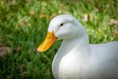 Le canard de Pekin dans l'herbe avec des yeux s'ouvrent Photos stock