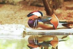 Le canard dormant près de l'eau se reflètent images stock