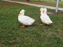le canard est picoter de plume images libres de droits