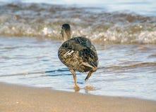 Le canard fonctionnant pour arroser Photographie stock libre de droits