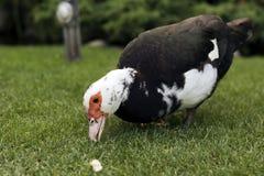 Le canard mange du pain Image libre de droits
