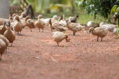 Le canard marche sur la terre Images stock