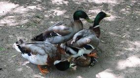 Le canard masculin essaye de joindre à un canard femelle, et un autre mâle s'y mêle il banque de vidéos